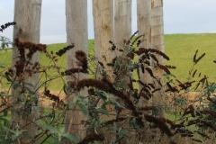uitgebloeide-vlindersrtruiken-met-palen