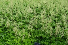 normal_Astilbe_arendssii