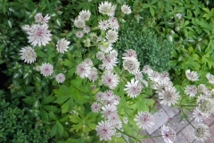 normal_Astrantia_major