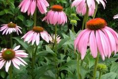 normal_Echinacea_purpurea