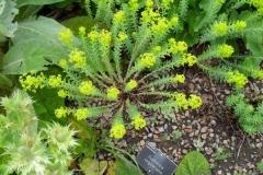 normal_Euphorbia_seguiiana