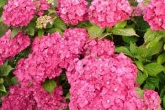 normal_Hydrangea_macrophylla