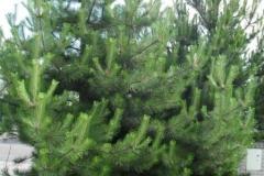 normal_Pinus_nigra_nigra