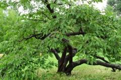 normal_Prunus_avium