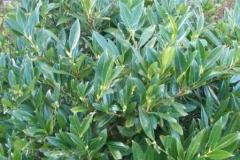normal_Prunus_laurocerasus_Otto_luyken
