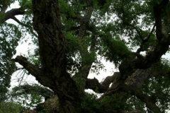 normal_Quercus_suber