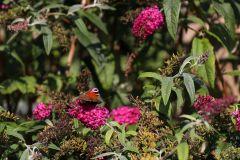 gertbezemerhoveniers.nl-vlinder-op-budldleja-davidii-royal-red-drgg